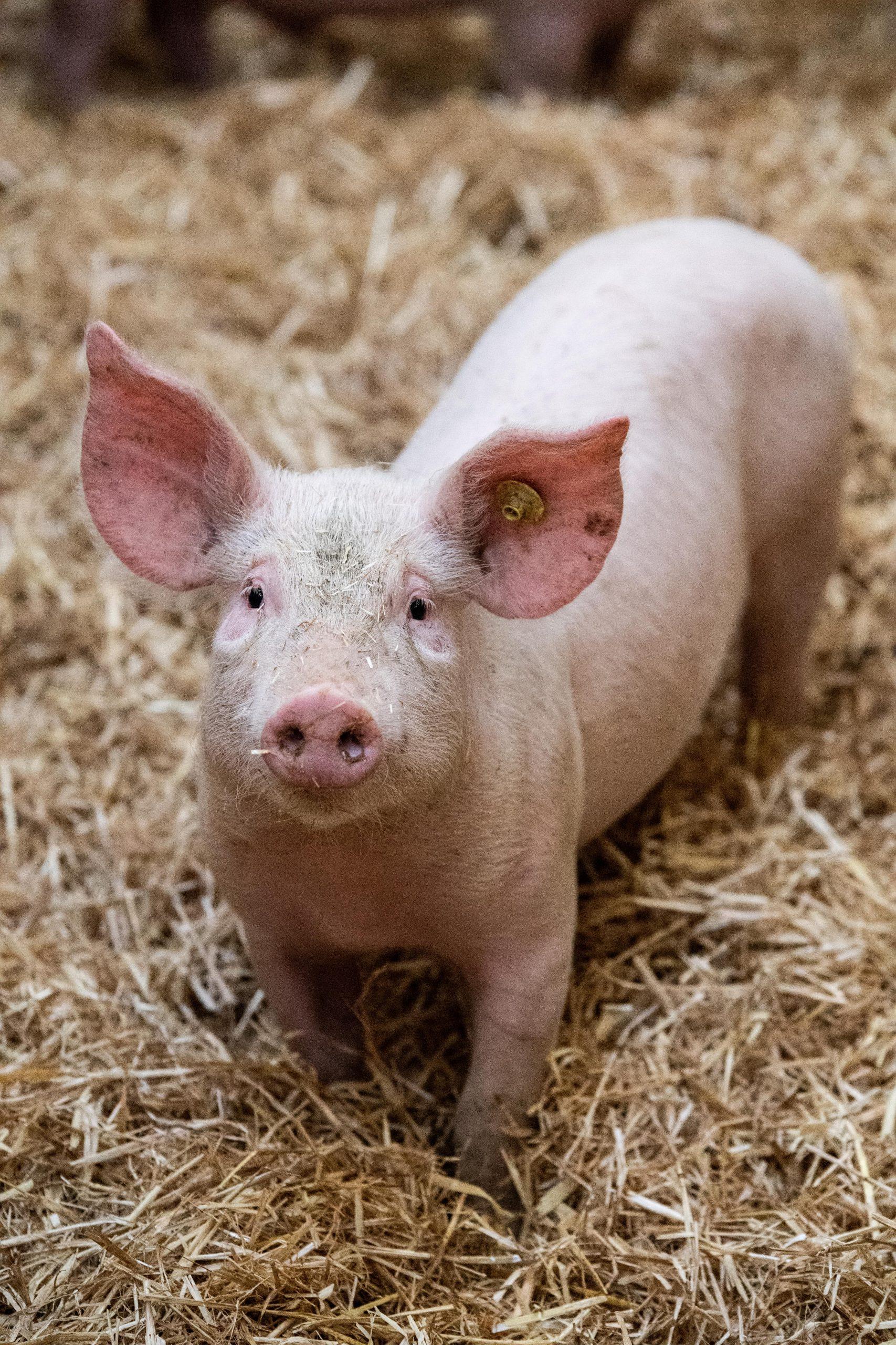 Porcs bio sur paille UNEBIO